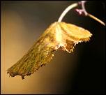 dying_leaf