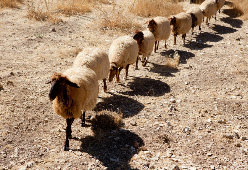 Sheep herd in drought [url=http://www.istockphoto.com/file_search.php?action=file&lightboxID=6844395][IMG]http://i206.photobucket.com/albums/bb234/cellectus/religion.jpg[/IMG][/url][url=http://www.istockphoto.com/file_search.php?action=file&lightboxID=6793307][IMG]http://i206.photobucket.com/albums/bb234/cellectus/vetta.jpg[/IMG][/url][url=http://www.istockphoto.com/file_search.php?action=file&lightboxID=7784001][IMG]http://i206.photobucket.com/albums/bb234/cellectus/travel.jpg[/IMG][/url]